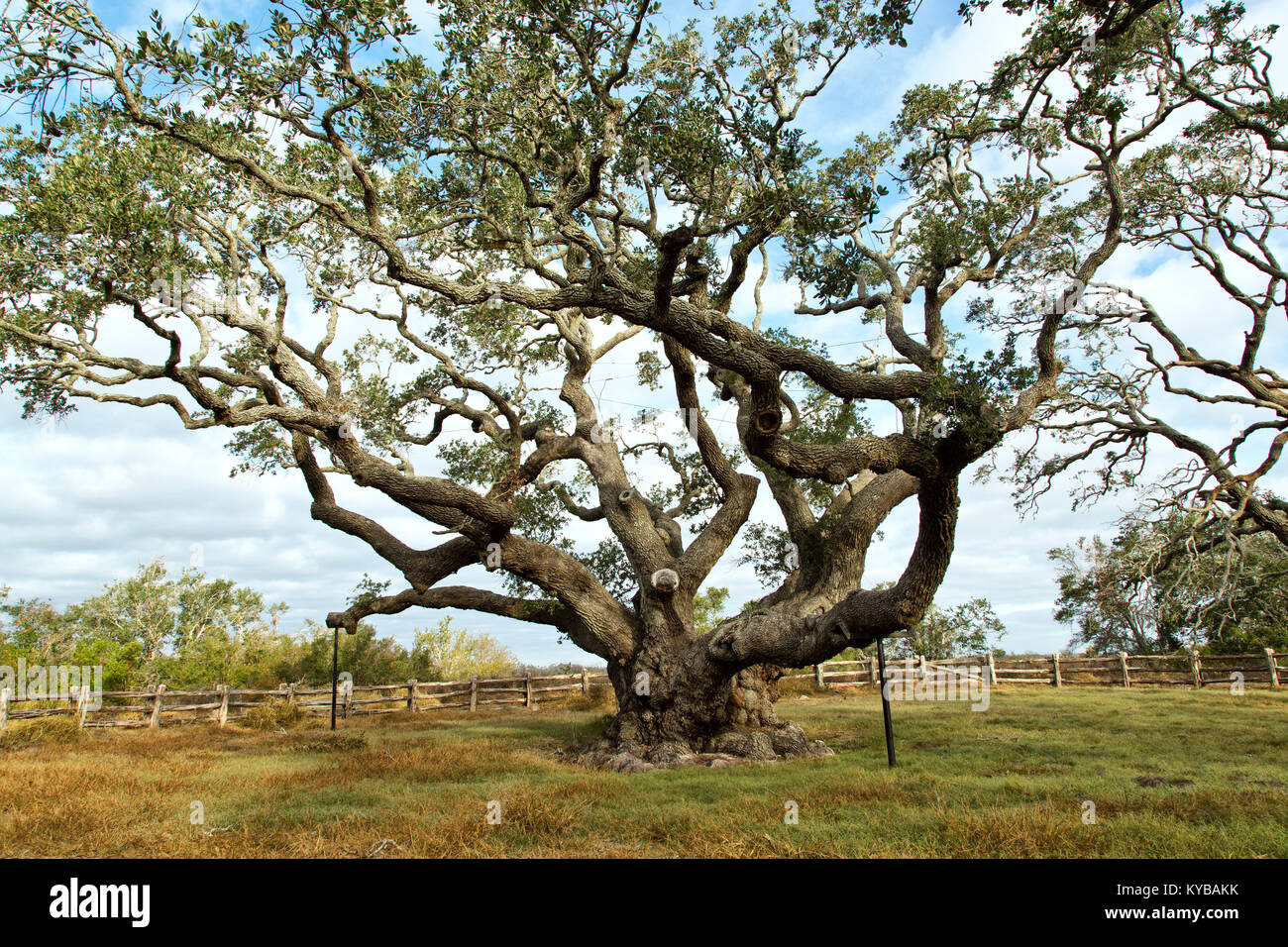 'Big Tree'  Southern Live Oak  'Quercus virginiana', in excess of  1000 years old. - Stock Image