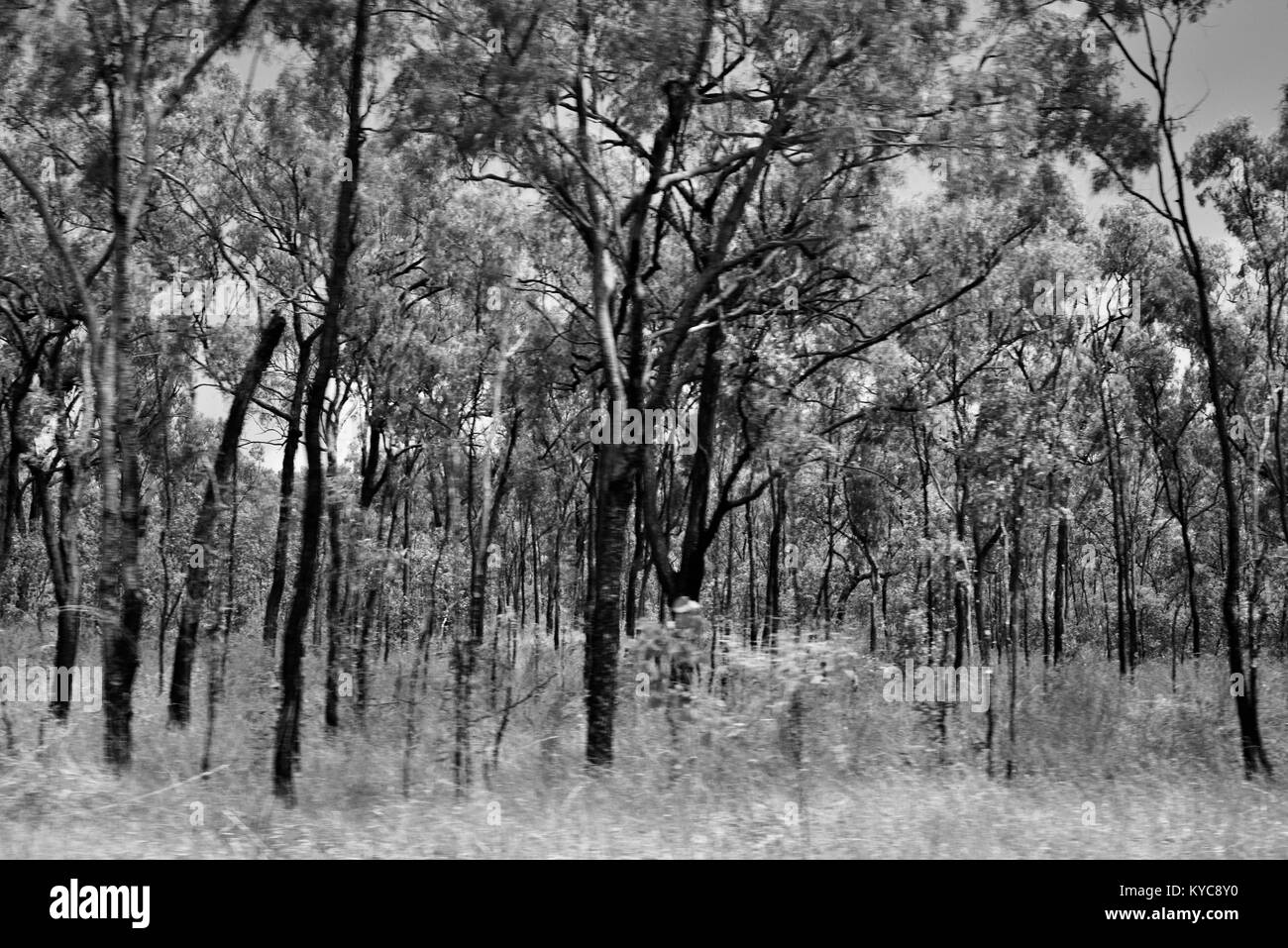 Farmland and bush near Clairview, eucalyptus dominated dry sclerophyll forest in black and white, Clairview, Queensland, - Stock Image