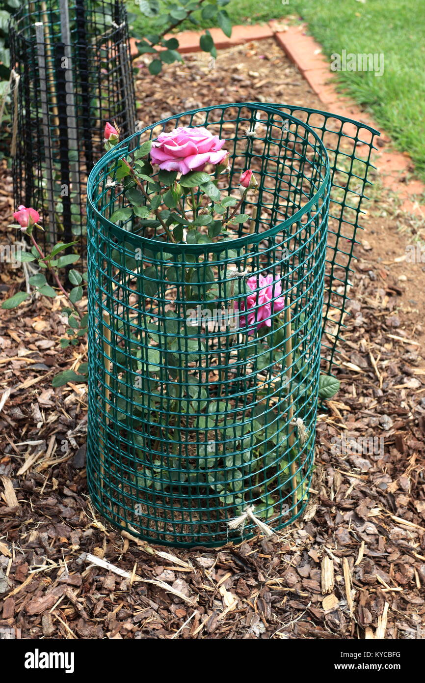 Protecting rose plants using hard wire cage to protect the plants from being eaten by rabbits - Stock Image