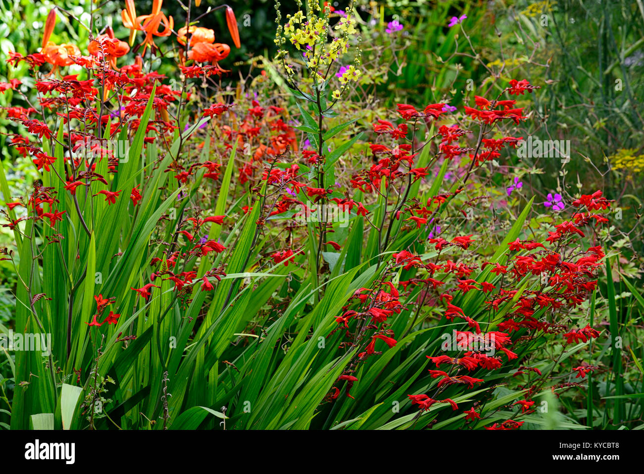 crocosmia lucifer,verbascum,Foeniculum vulgare Purpureum,lilium lancifolium,bronze fennel,leaves,foliage,red flowers,flowering,garden,gardens,RM Stock Photo
