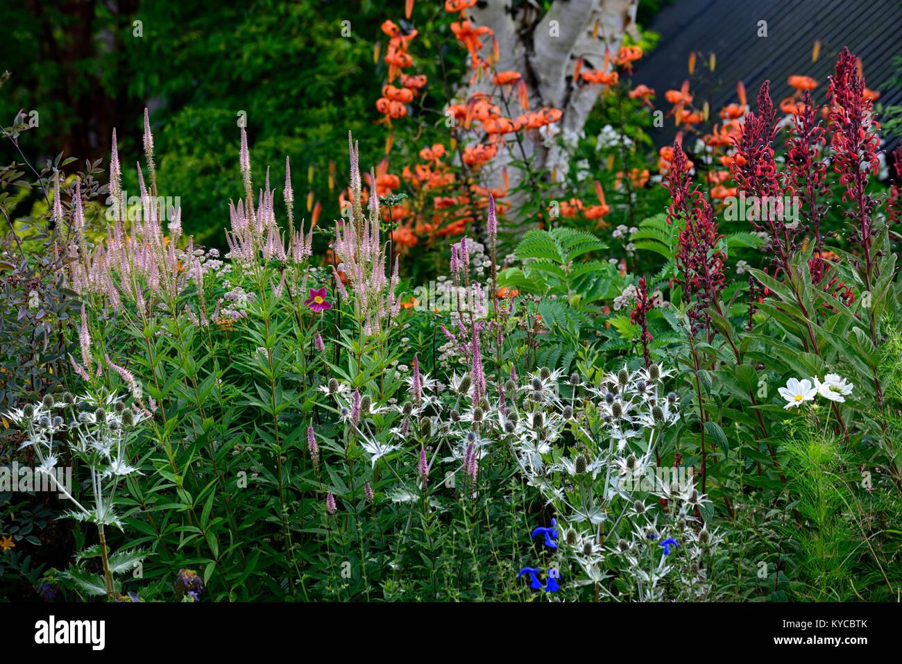 veronicastrum virginicum,lobelia tupa,Eryngium giganteum Miss Willmott's Ghost,silver,pink,red,flower,flowers,spire,spires,spike,spikes,garden,gardens - Stock Image