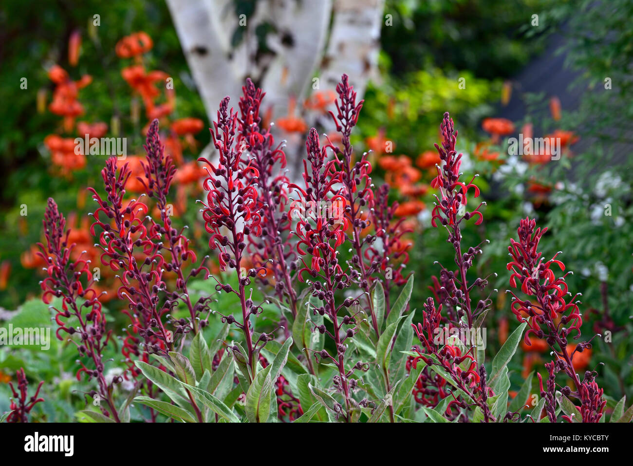 Tall Red Flowers Stock Photos & Tall Red Flowers Stock Images - Alamy