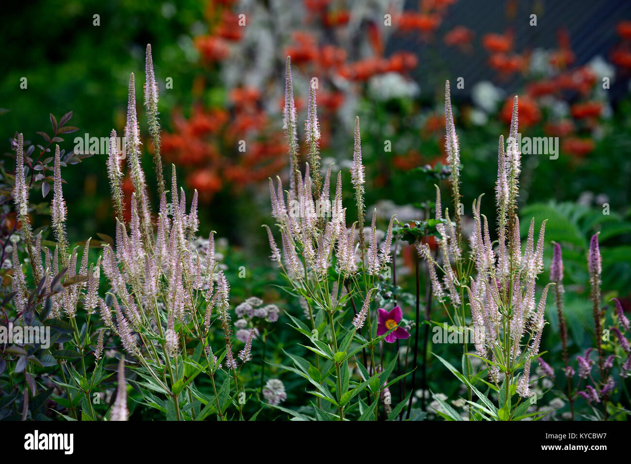 veronicastrum virginicum,pink,lilac,flower,flowers,spire,spires,spike,spikes,garden,gardens,RM Floral - Stock Image