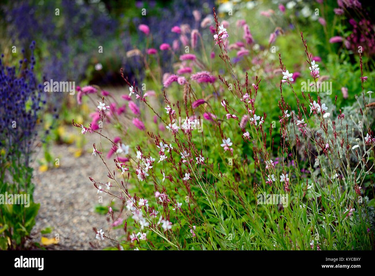 Gaura lindheimeri,Butterfly Gaura,sanguisorba obtusa,pink,white,flower,flowers,flowering,garden,gardens,RM Floral Stock Photo