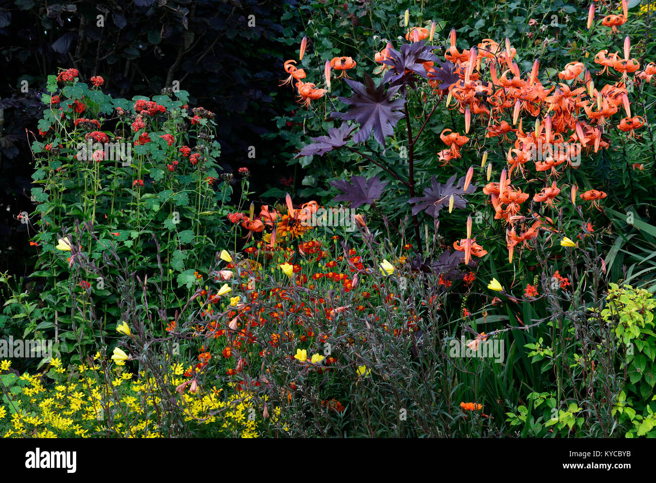 Coreopsis Orange Flowers Stock Photos Coreopsis Orange Flowers