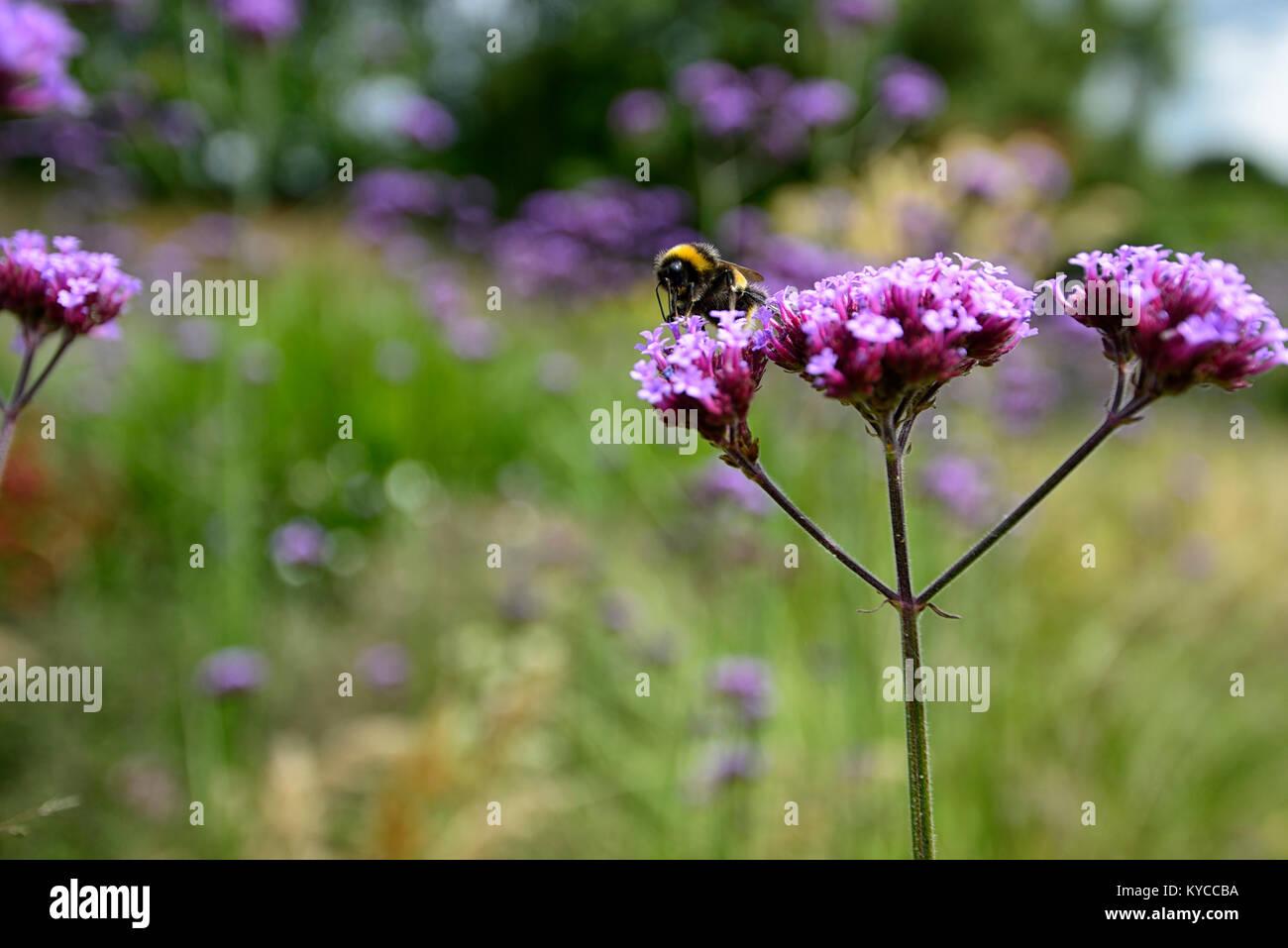 bee,feed,feeding,bee-friendly,verbena bonariensis,tall,perennial,purple,flower,flowers, wildlife,insect,friendly,planting,RM - Stock Image