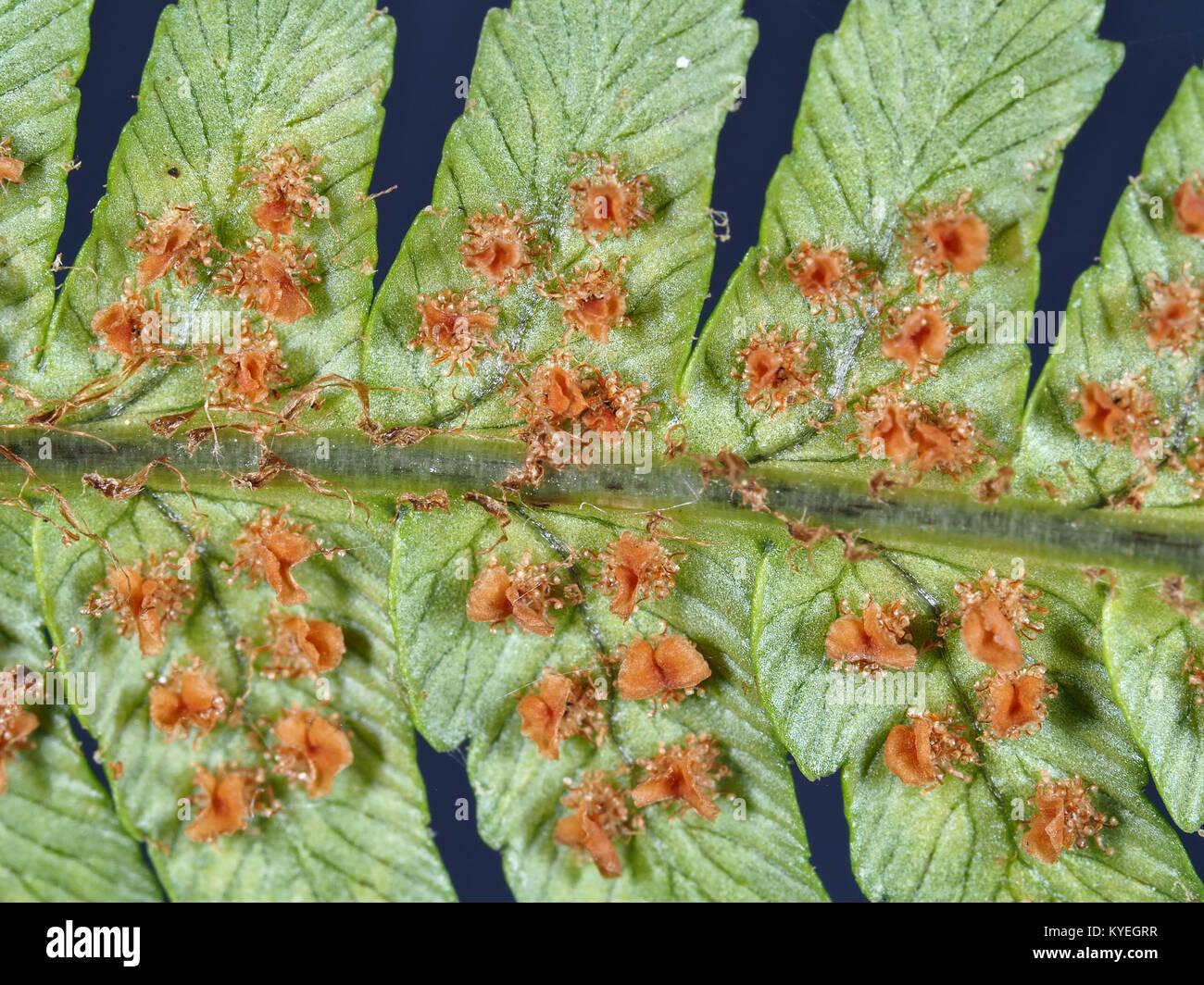 Underside of a fern leaf, showing multiple sori Stock Photo