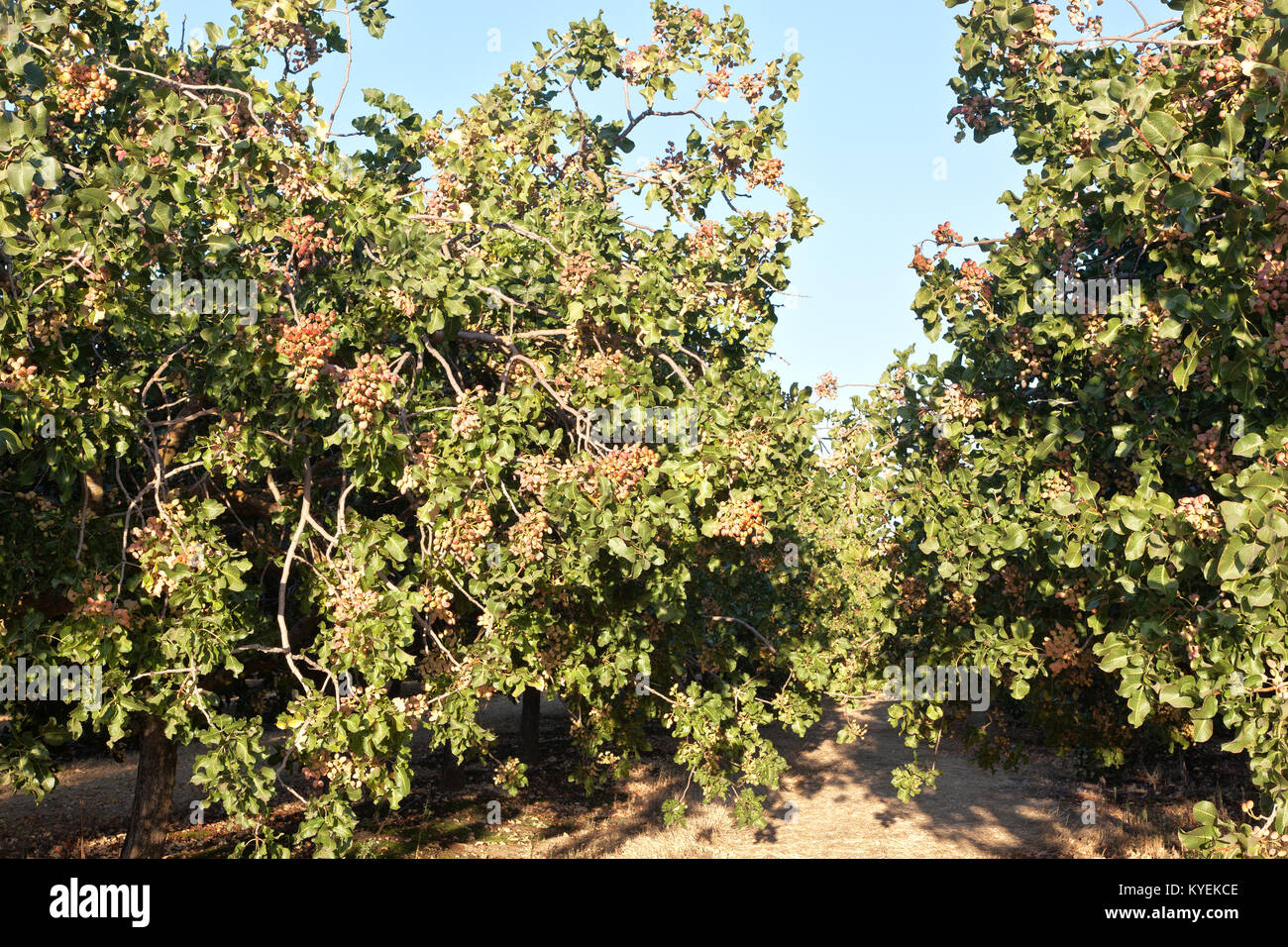 Rows of Pistachio trees, nuts maturing in orchard  'Pistacia vera'. - Stock Image