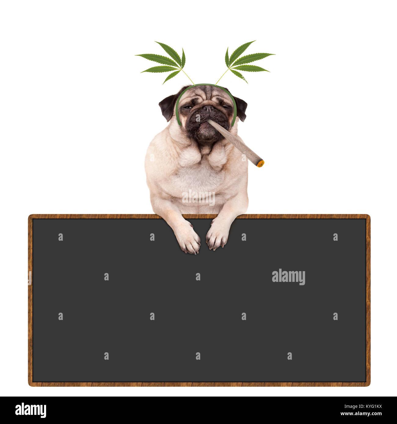 pug puppy dog being high, smoking marijuana weed joint, wearing hemp leaves diadem, hanging on blackboard sign, - Stock Image
