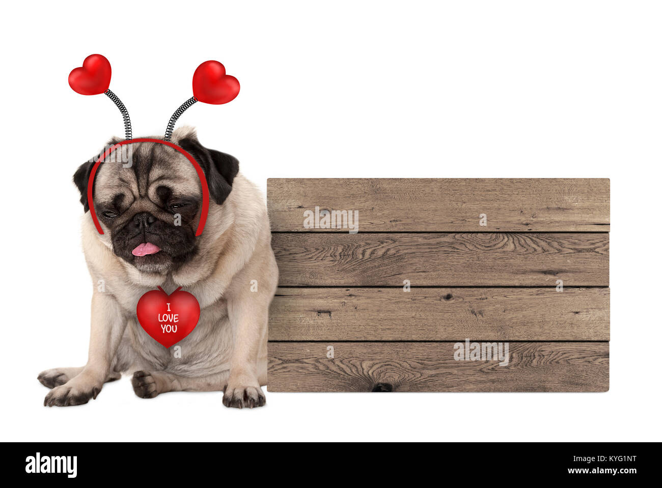 being fed up Valentine's day pug dog with hearts diadem sitting down next to wooden sign, isolated on white - Stock Image