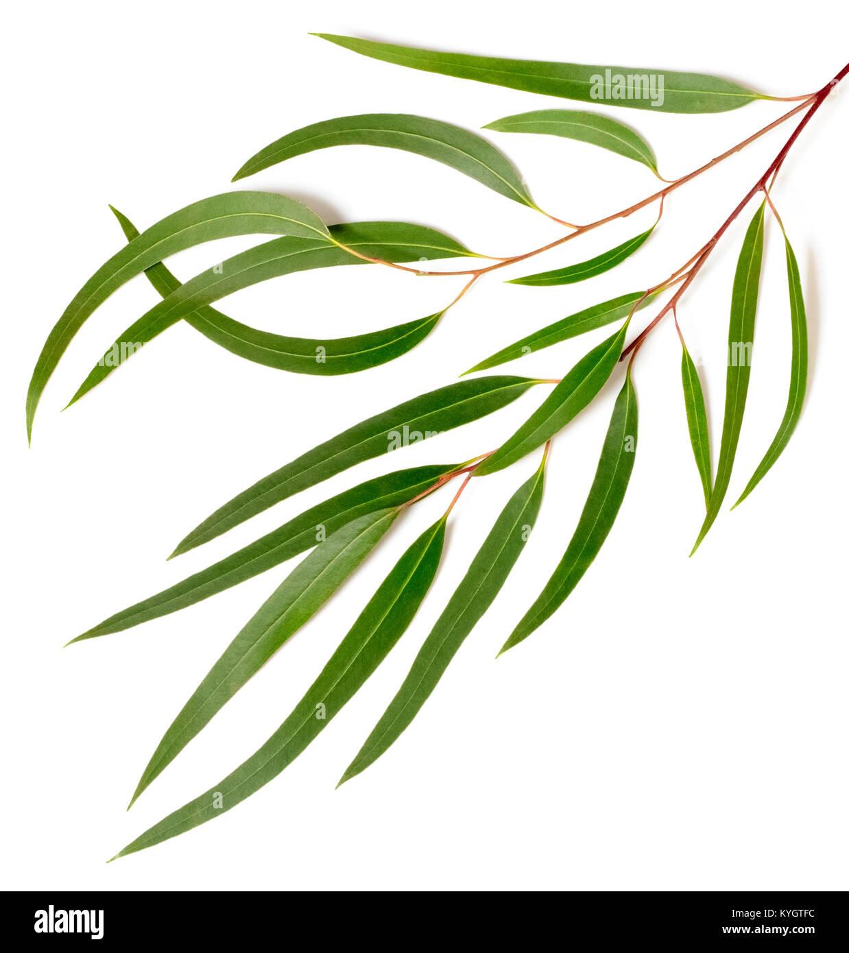 fresh eucalyptus leaves isolated on white - Stock Image