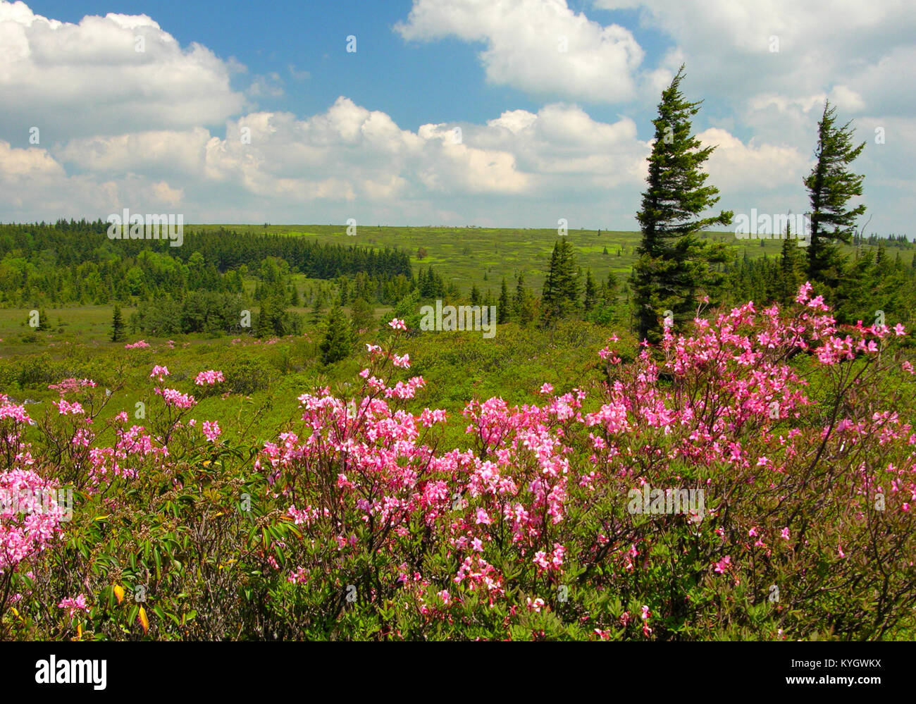 Dolly Sods with pink azalea, West Virginia - Stock Image