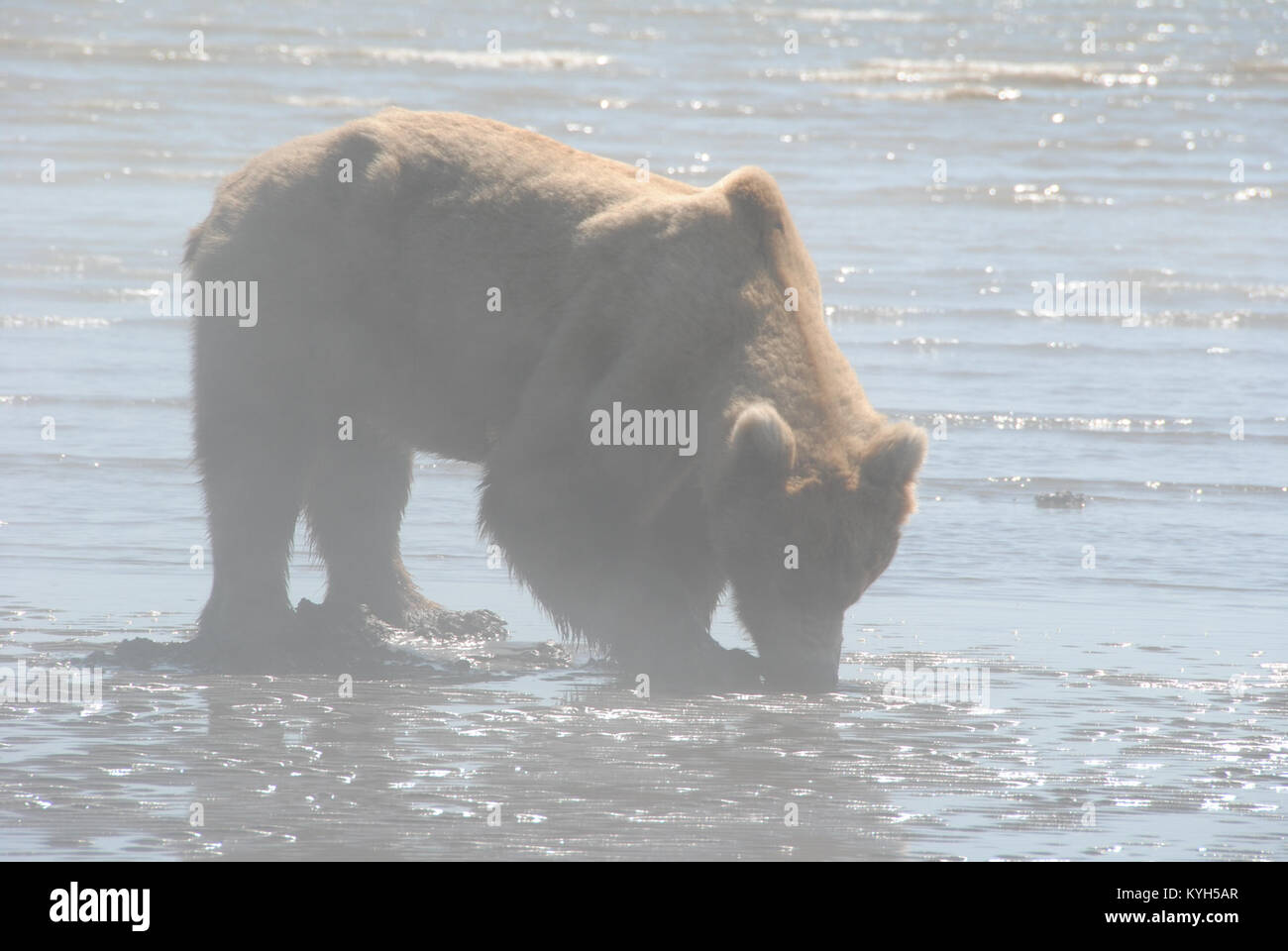 A bear digs for clams at Lake Clark National Park and Preserve. The Wounded Warriors took a bear-watching tour from - Stock Image