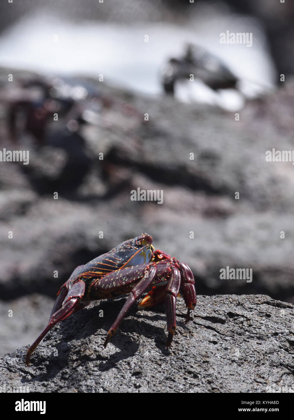 A blue coloured immature Sally Lightfoot Crab (Grapsus grapsus) is camouflaged against black rocks, in contrast - Stock Image