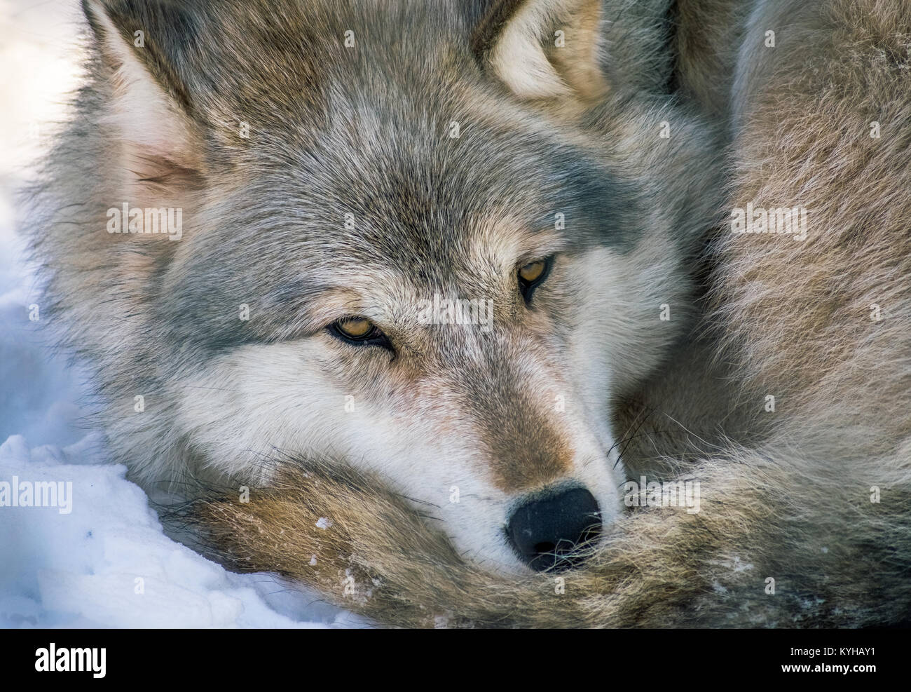 Gray Wolf At Rest - Stock Image