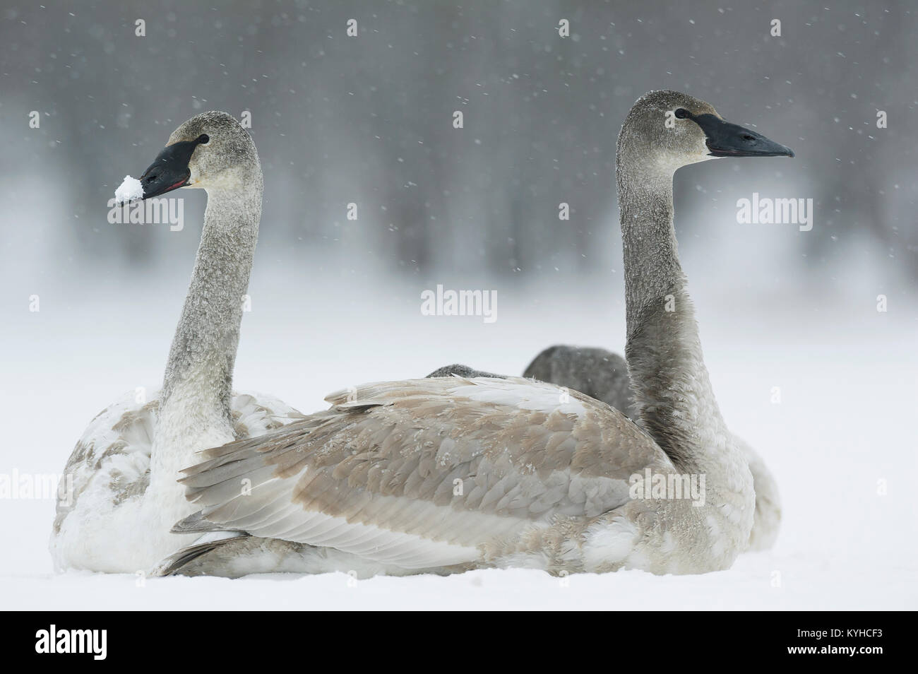 Immature Trumpeter swans (Cygnus buccinator), St. Croix River between Minnesota & Wisconsin, WI, USA, by Dominique - Stock Image