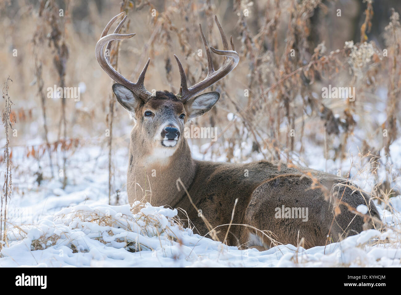 White-tailed deer( Odocoileus virginianus), Fort Snelling State Park, MN, USA, Early December, by Dominique Braud/Dembinsky - Stock Image