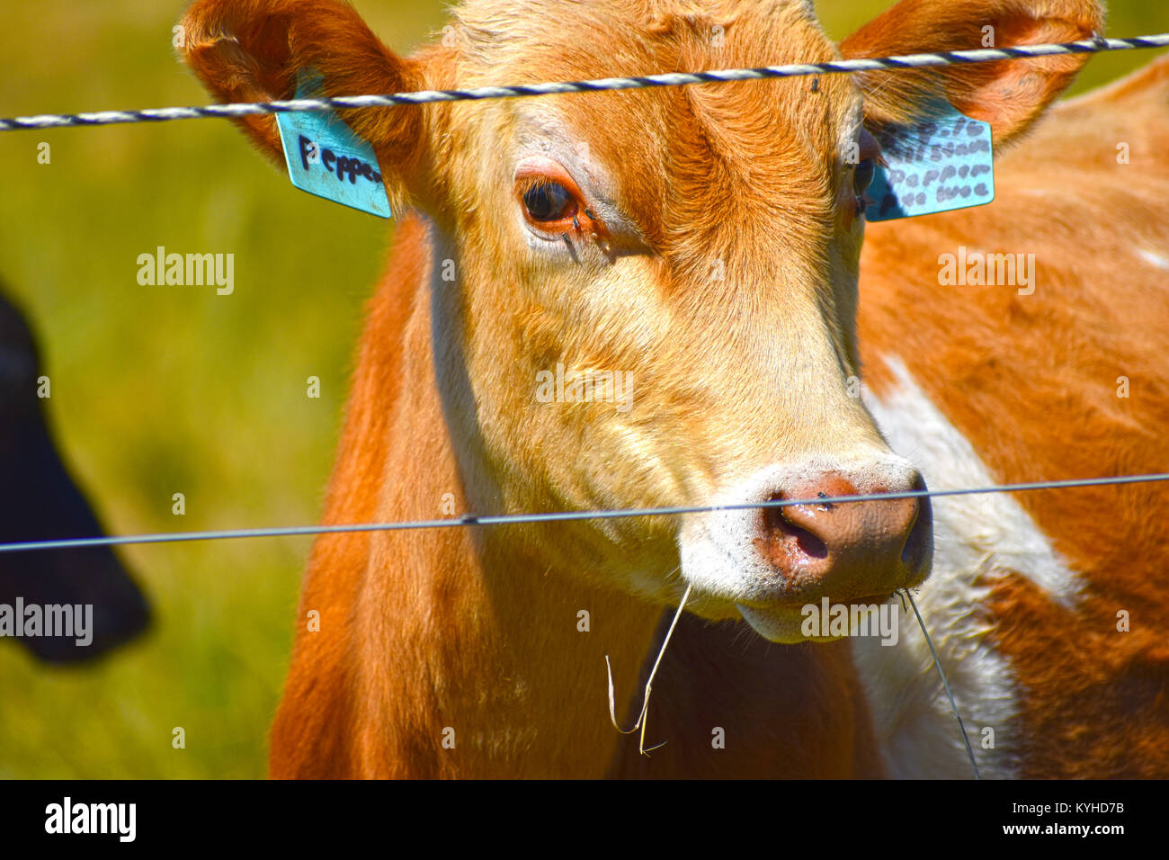 Pepper the Prize Winning Cow with grass in her mouth and a few flies on her face. - Stock Image