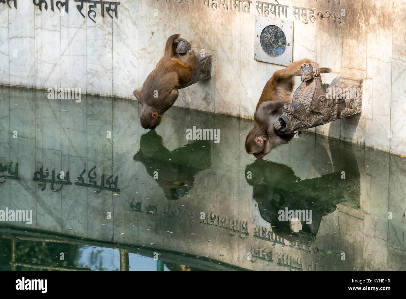 Monkeys drinking from a wishing well in Kathmandu, Nepal - Stock Image