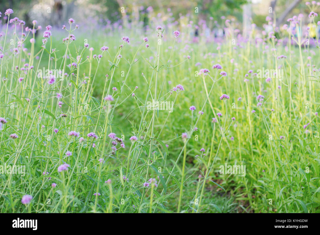 Planting Purple Flowers In The Garden With Nature On Green Grass