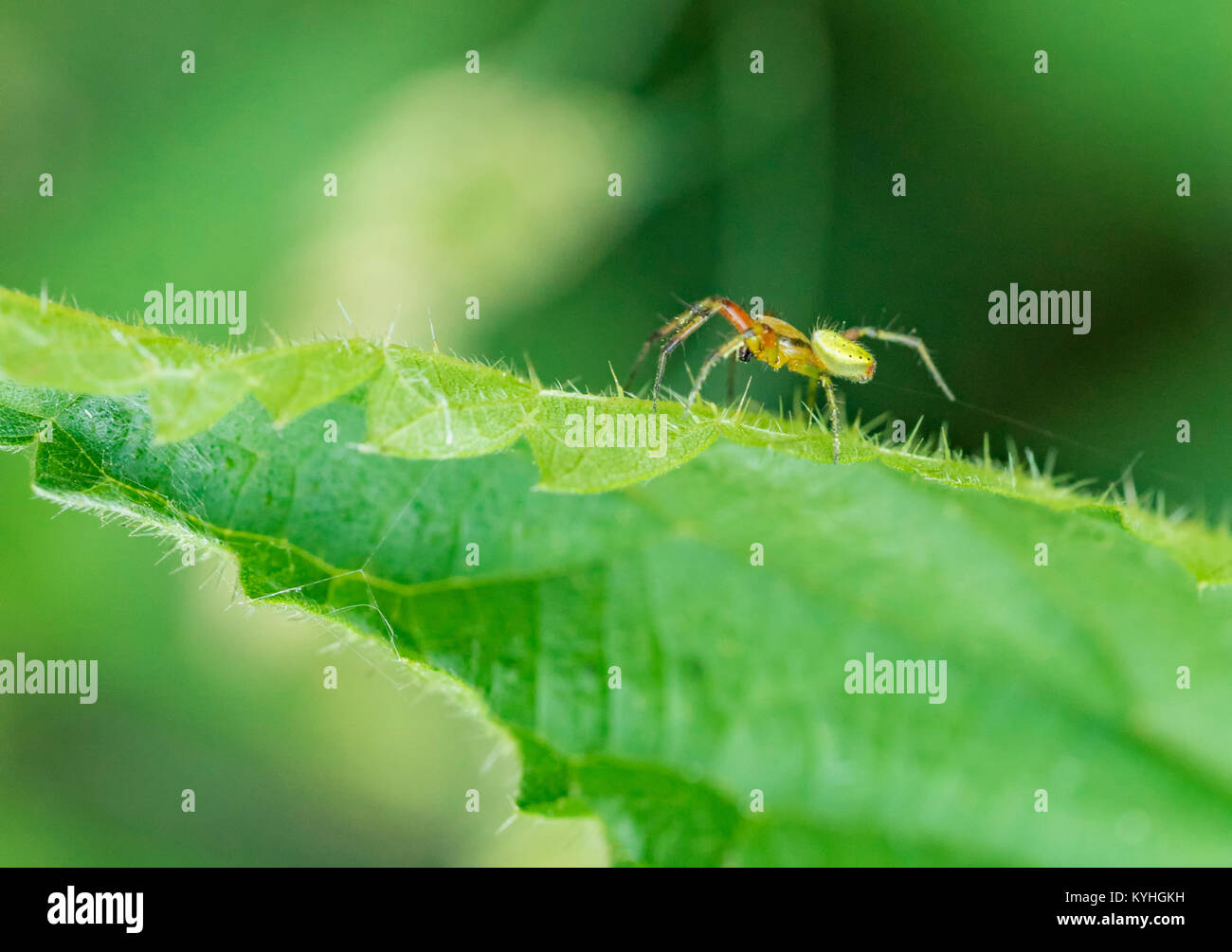 sideways shot of acucumber green spider on green leaf - Stock Image