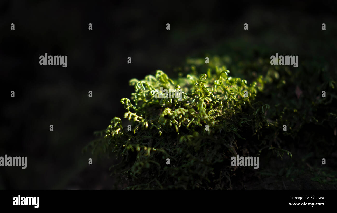 Close-up shot of bright cluster of green moss surrounded by shade in the laurel forests of Anaga Mountins, Tenerife, - Stock Image