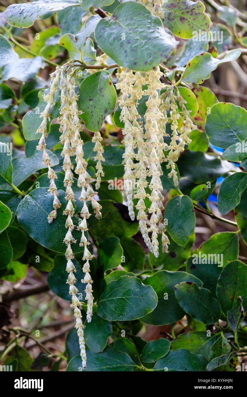 Pale,elongated catkins of the winter flowering silk tassel bush, Garrya elliptica 'James Roof' - Stock Image