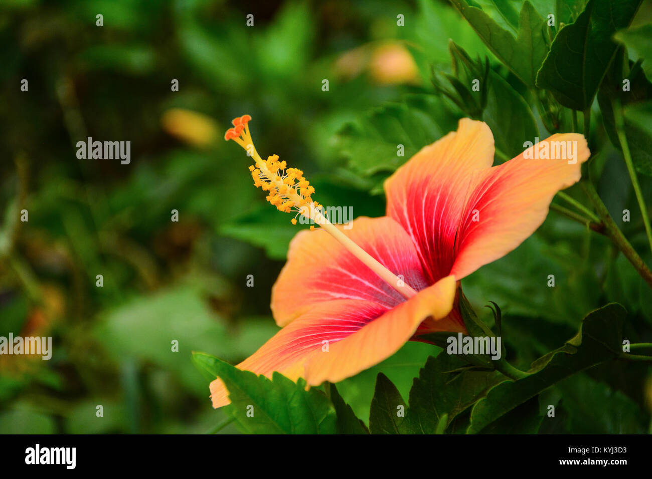 Black And White Vector Hibiscus Flower Stock Photos Black And