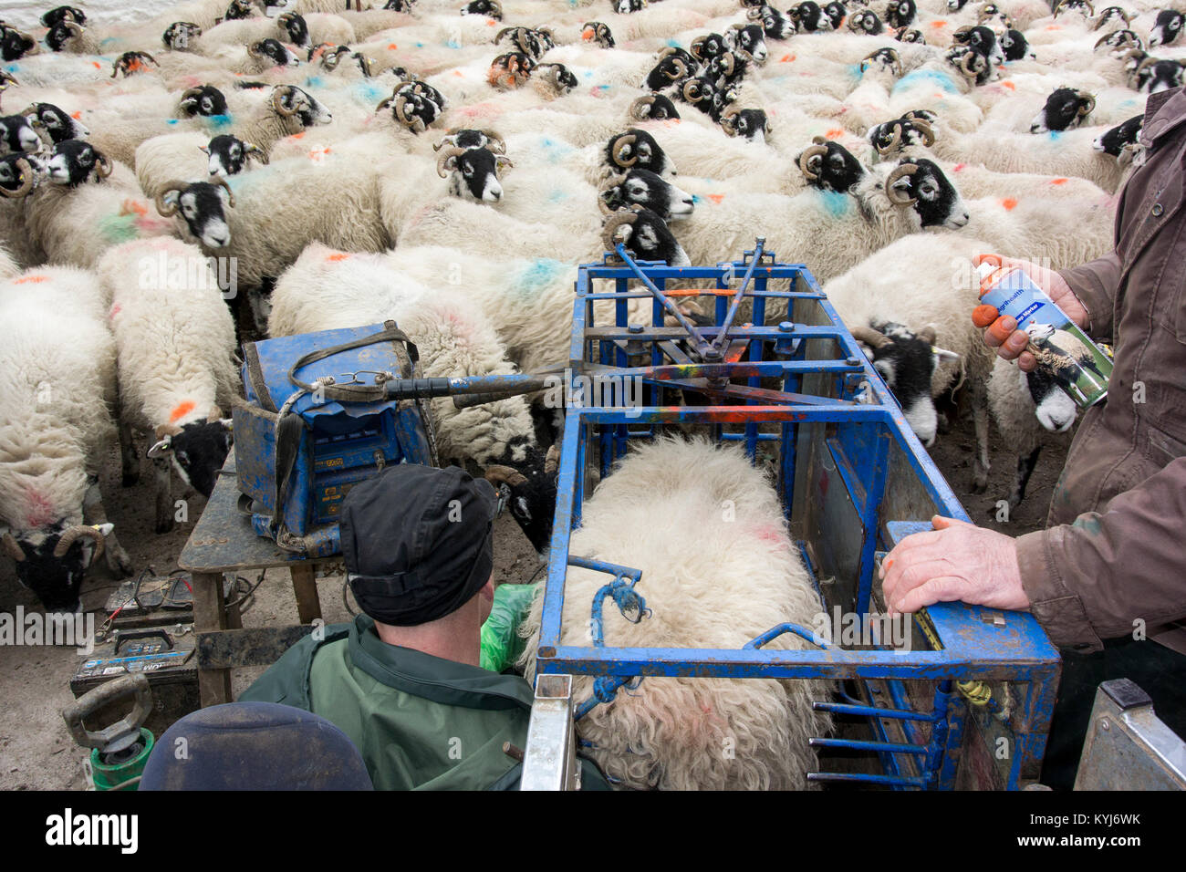Scanning swaledale ewes with ultrasonic scanner to see how many lambs they have. Cumbria, UK. - Stock Image
