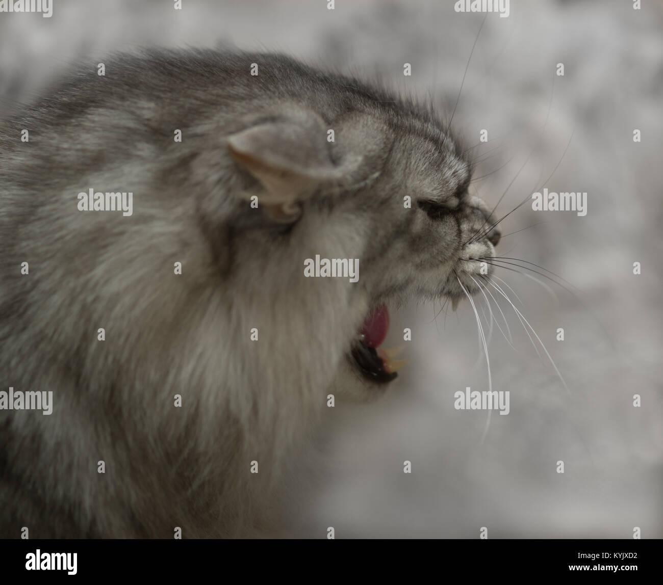 Angry cat closeup. The cat growls. - Stock Image