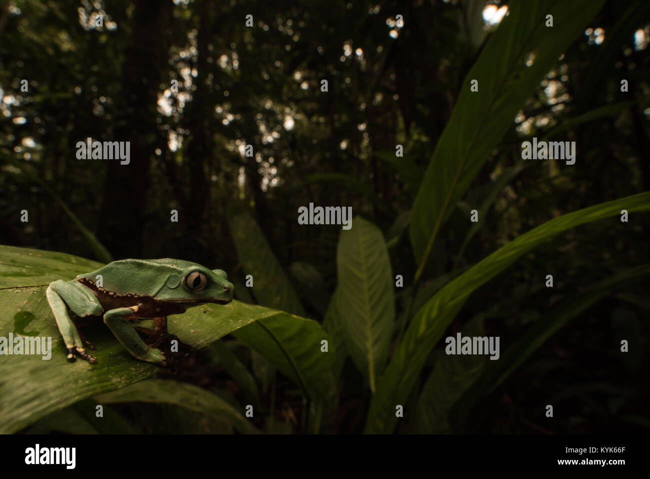 One of the largest tree frogs, a giant monkey tree frog (Phyllomedusa bicolor). This one is still young and has - Stock Image
