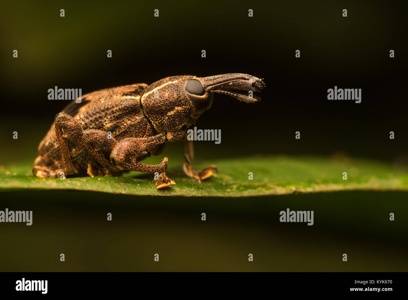 A weevil from the amazon rainforest. - Stock Image