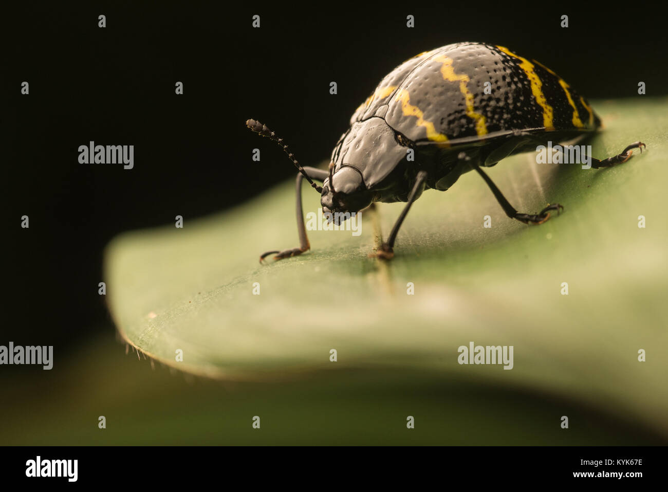 A fungus beetle from the Colombian jungle sitting on a leaf. - Stock Image