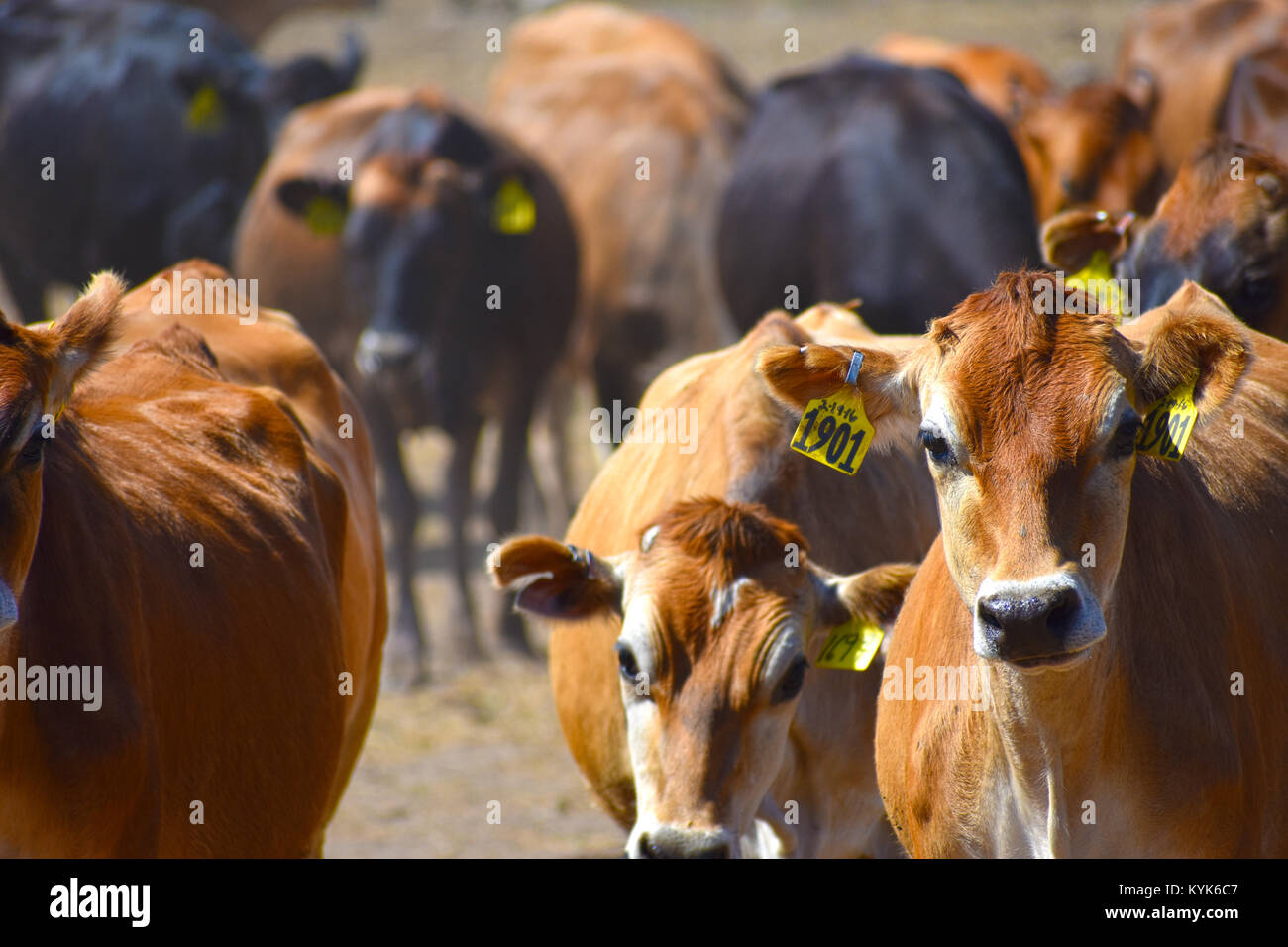 Selective focus on cow 1901 - all other cows are out of focus.  A herd of beef cattle at a ranch in Ferndale, Washington, - Stock Image