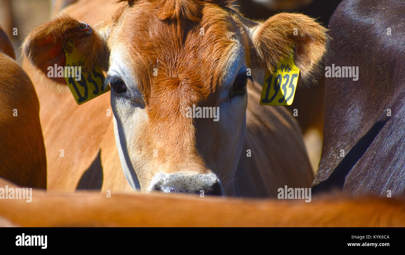 Cow caught in the middle of the herd at a cattle ranch. - Stock Image