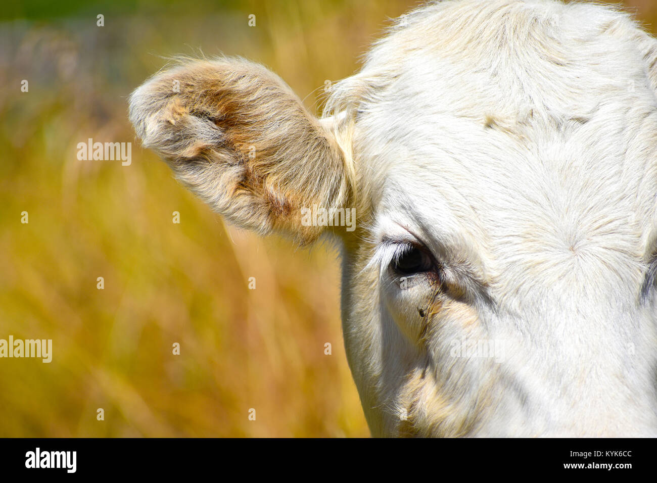 A white bull cow's face close up showing the ear and eye.  The eye has considerable drainage and a fly has landed - Stock Image