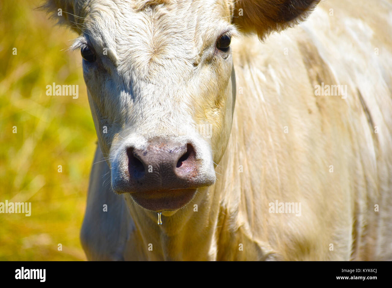 White bull cow close up with a drop of water hanging from its mouth.  He has just had a drink of water. - Stock Image