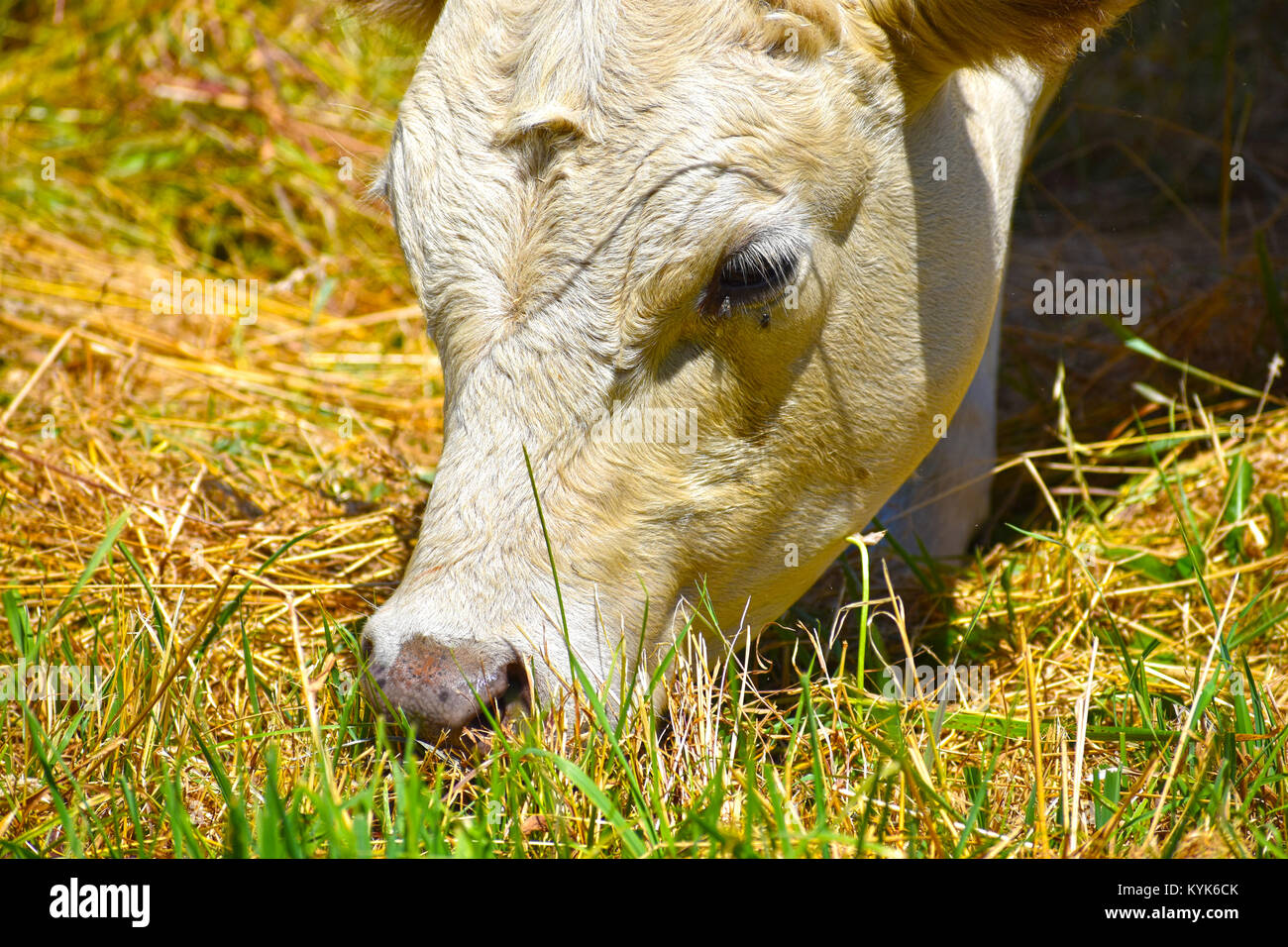 Cow grazing on grass closeup.  A fly is near the eye. Some grass shadows are on her face. - Stock Image