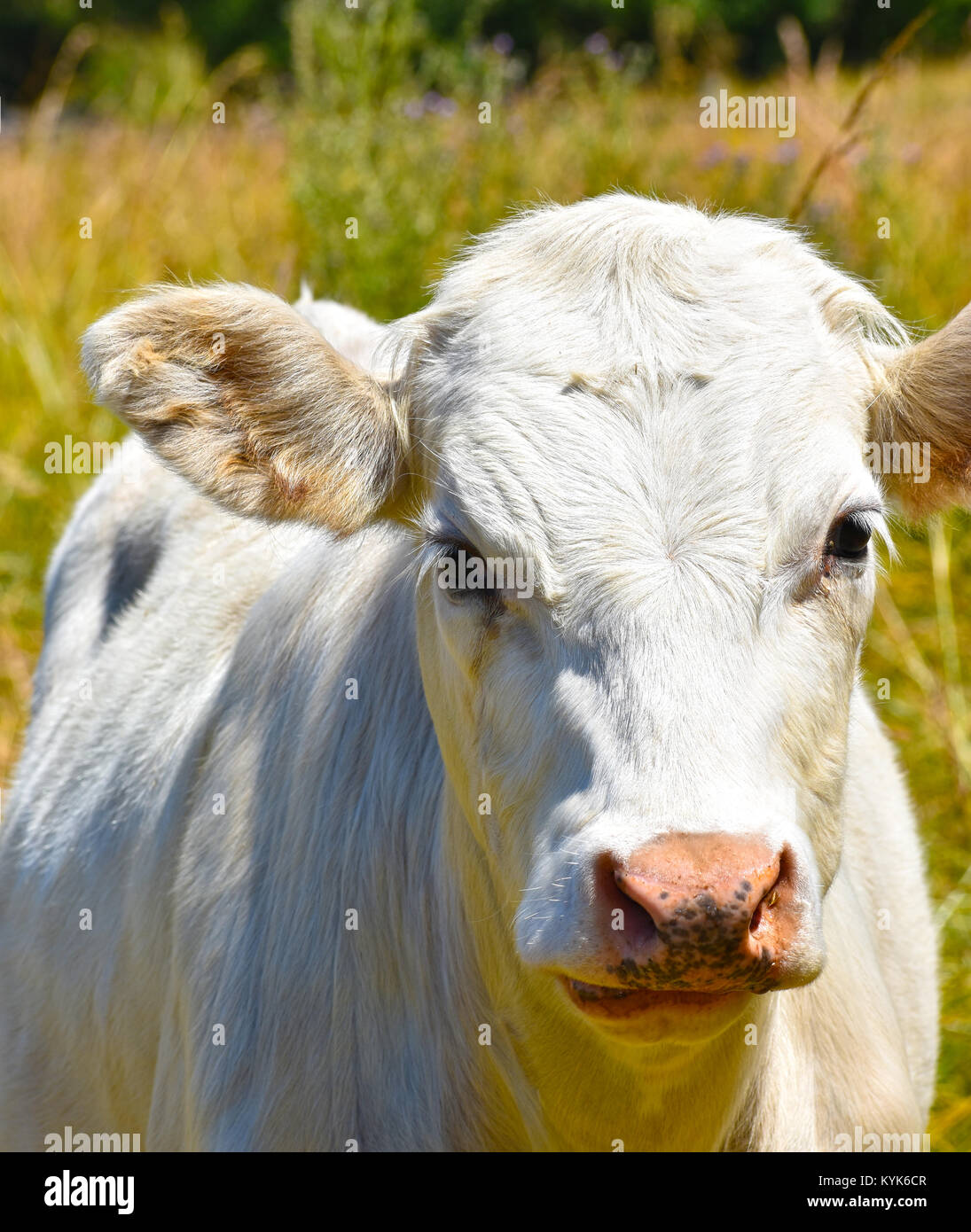 White bull cow close up in a blurred field of tall grasses.  He has a little bit of grass on his forehead and a - Stock Image