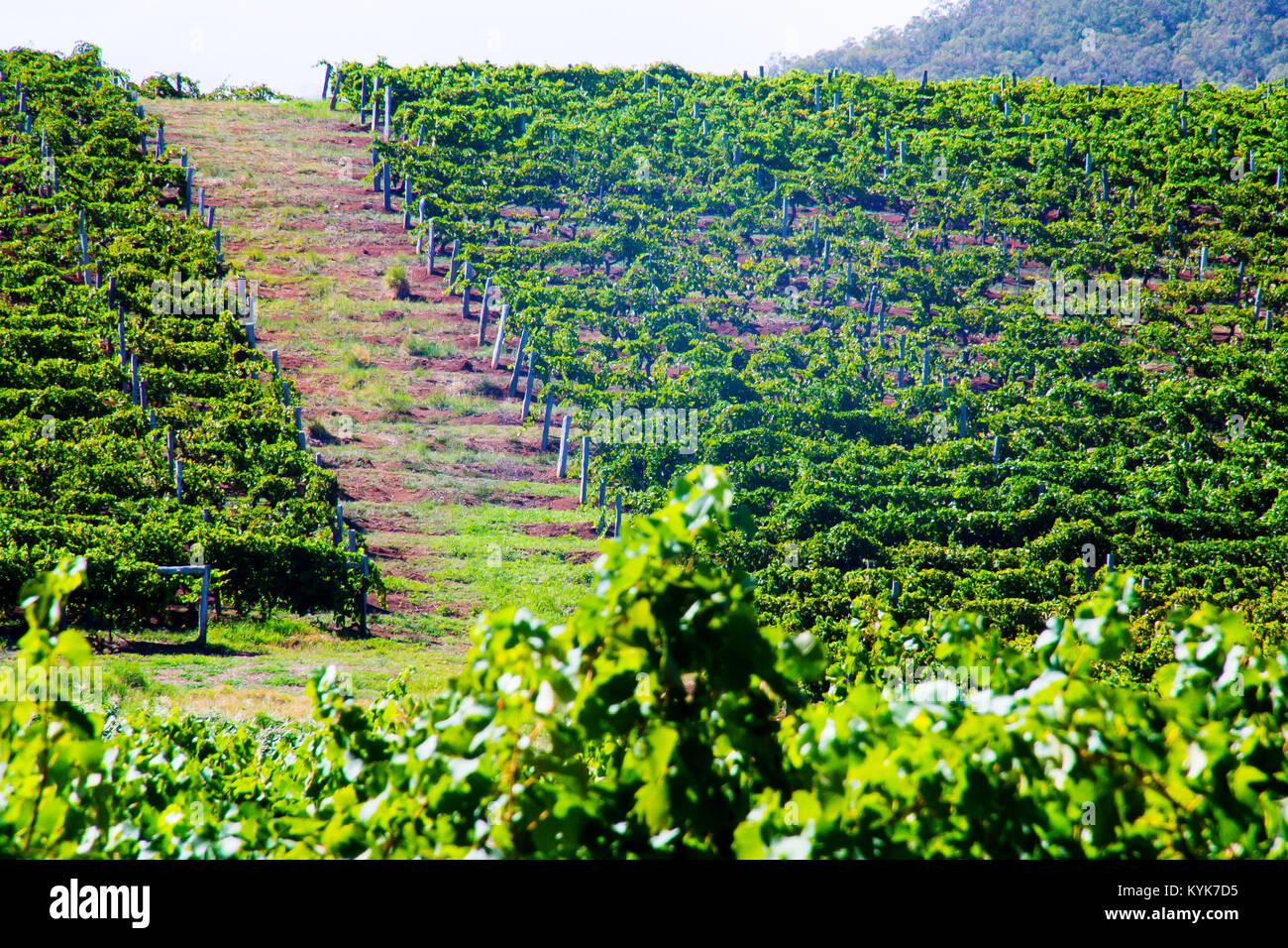 Stock Photo - Hunter Valley, Pokolbin Wine Country, New South Wales, Australia © Hugh Peterswald/Alamy - Stock Image