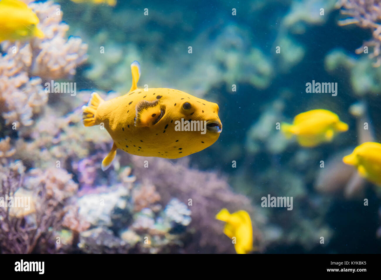 Yellow Blackspotted Puffer Or Dog-faced Puffer Fish Arothron Nigropunctatus Swimming In Water. If Not Prepared Properly, Stock Photo