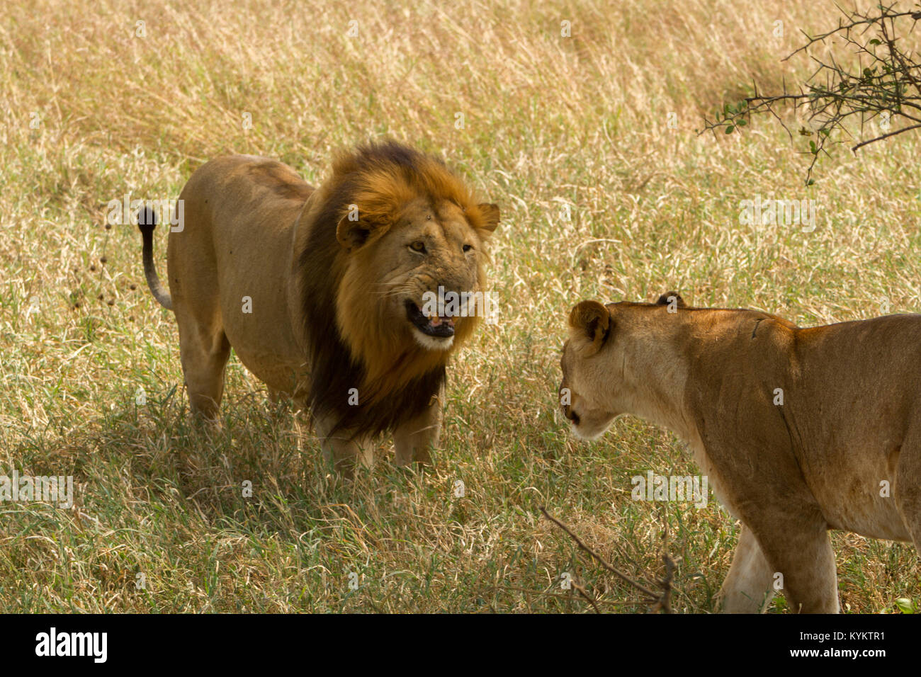 A lion snarls at his lioness shortly before mating in Serengeti National Park - Stock Image