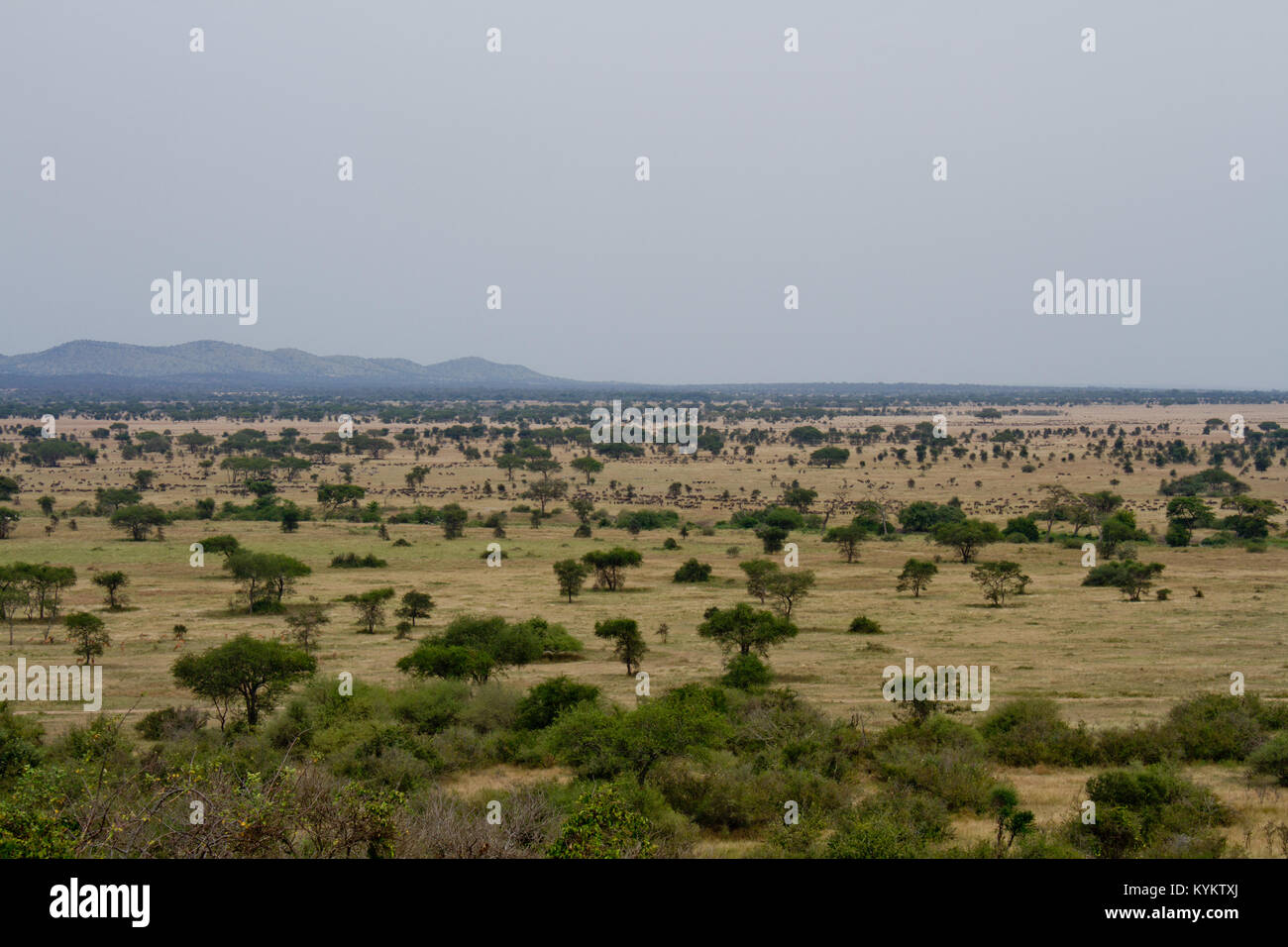 A vast herd of african animals in the distance in Serengeti National Park Stock Photo
