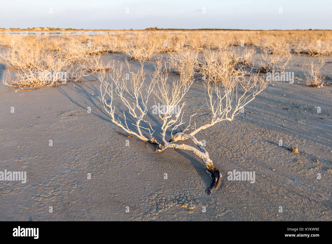 Dry old bushes and plant on beach with sea on the background with blue sky.dry bush on the sandy seashore - Stock Image