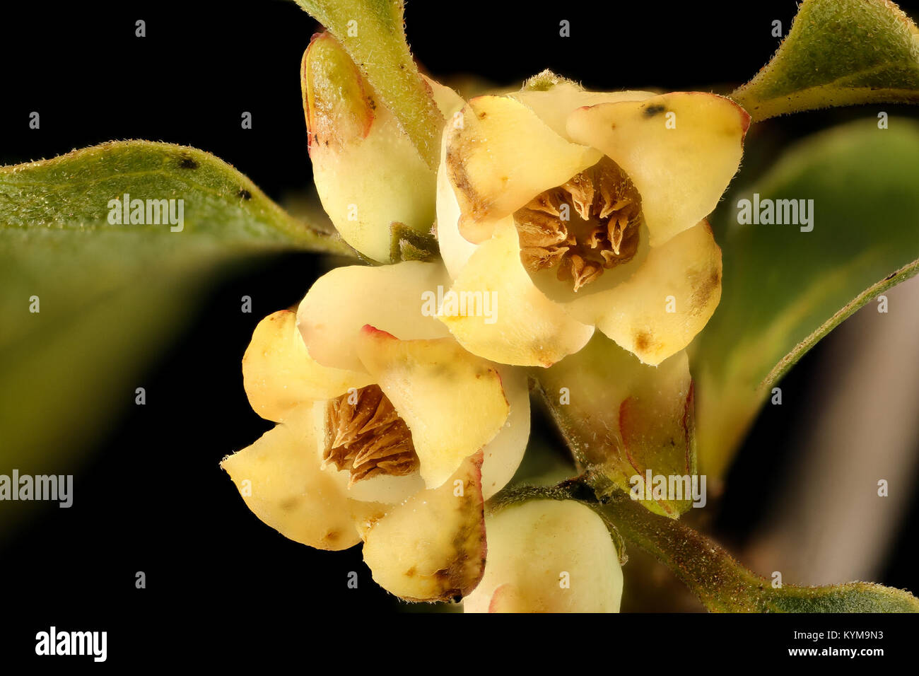 Staminate flower stock photos staminate flower stock images alamy diospyros virginiana persimmon staminate flower howard county md helen lowe 35034974653 o ccuart Choice Image