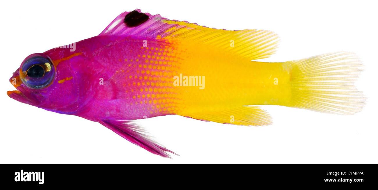 Gramma loreto, Adult (Royal Gramma) 2849263556 o - Stock Image