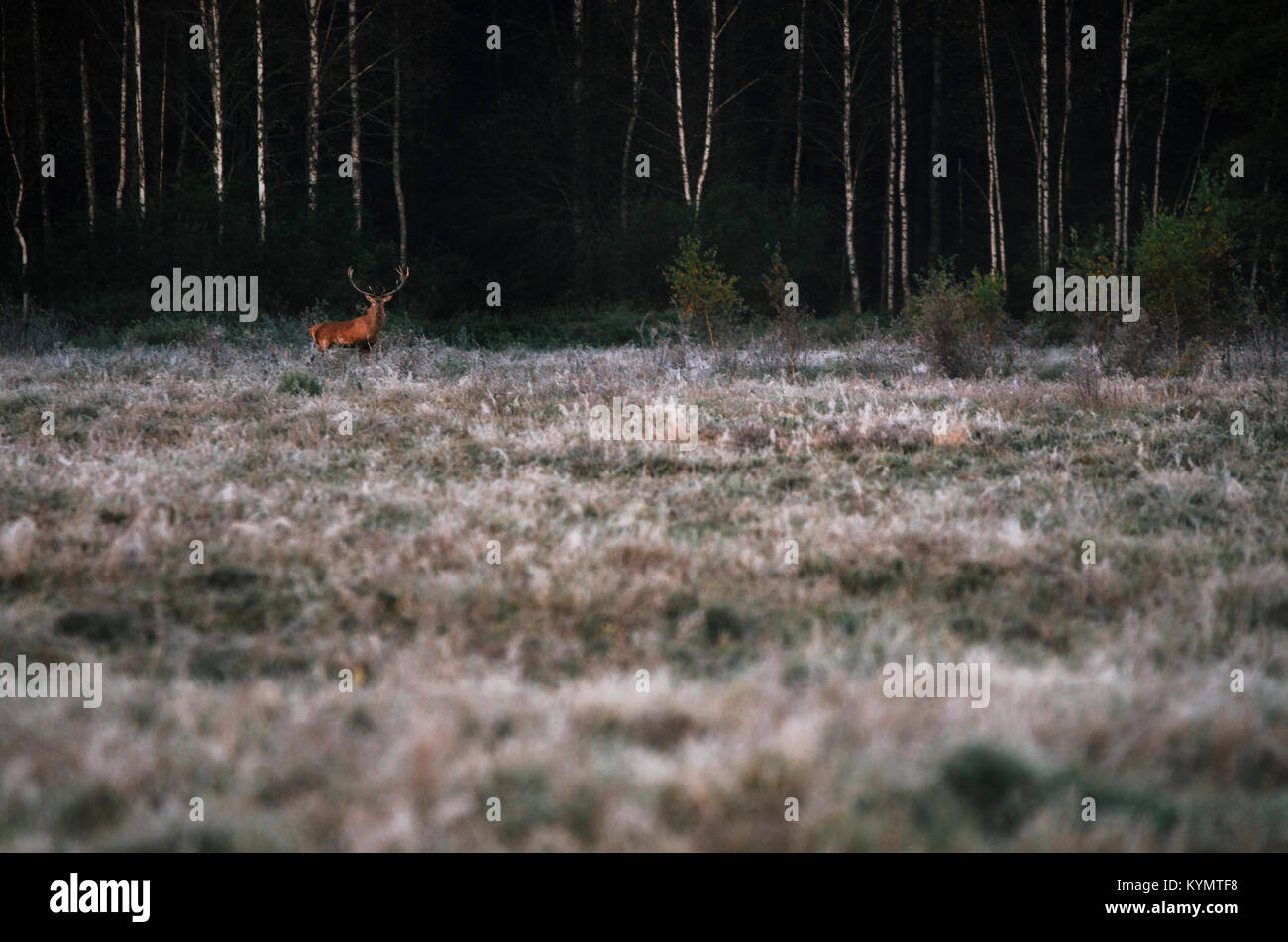 Beautiful red deer stag in frozzy morning field near forest landscape in autumn in Belarus. - Stock Image