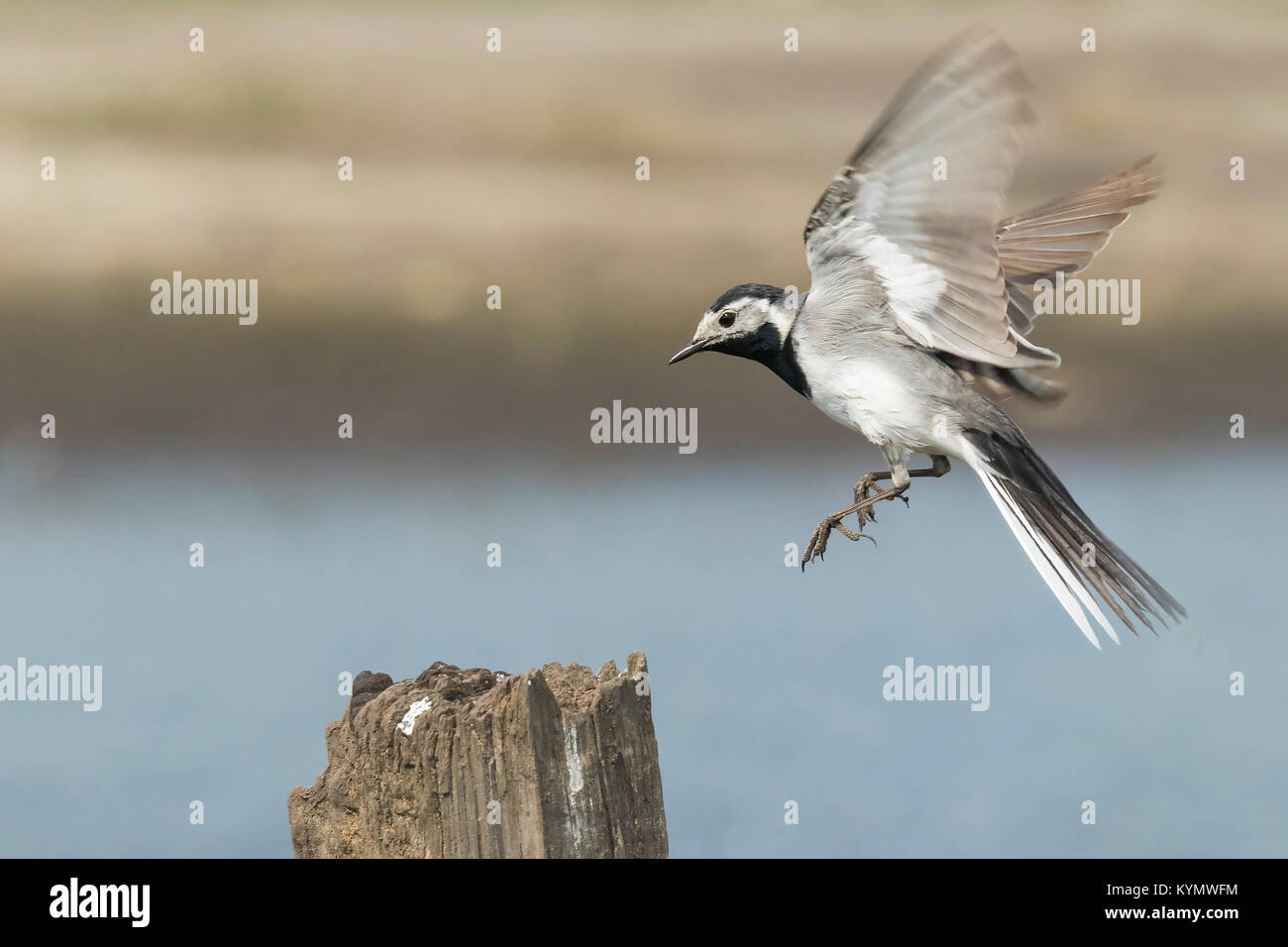 Closeup of a White Wagtail, Motacilla alba, in flight. Bird with white, gray and black feathers. The White Wagtail Stock Photo