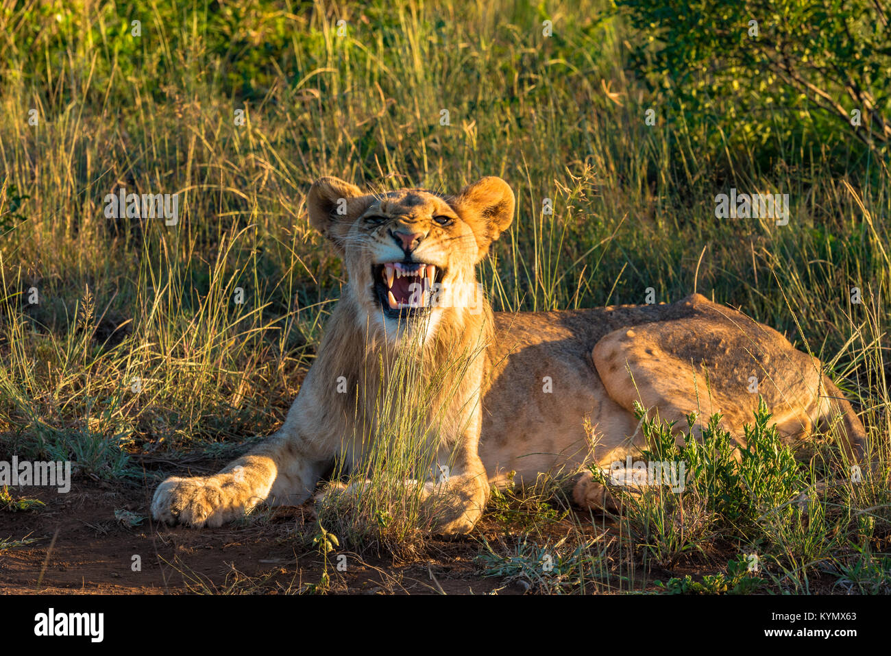 A lion in the Savanna bares her teeth - Stock Image