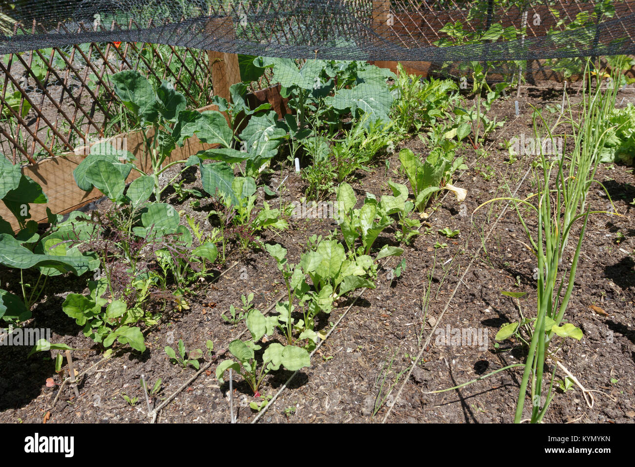 Garden vegetable plot with spring onions, radishes and salad growing, East Sussex, UK - Stock Image